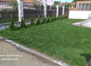 Postavljanje gajene tepih trave