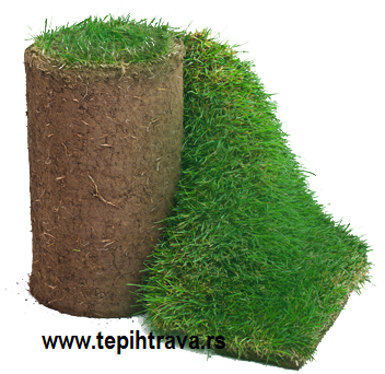 Engleska gajena tepih trava ili livadska tepih trava